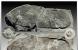 三葉蟲化石中的人類腳印
