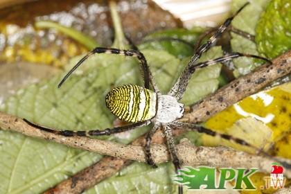 台湾蜘蛛种类多 农委会估约千种
