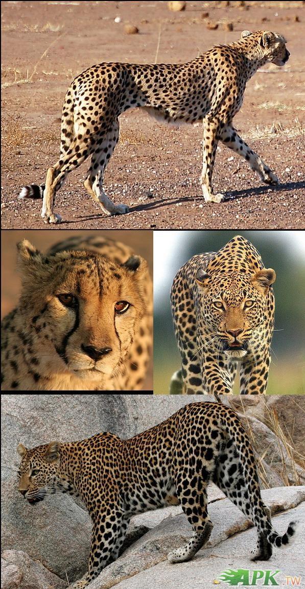 猎豹平均时速多少公里-猎豹的奔跑速度是多少到多少