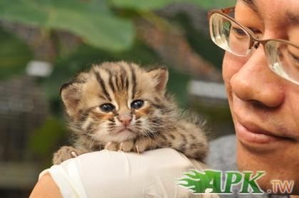 更是台湾野外仅存的猫科动物