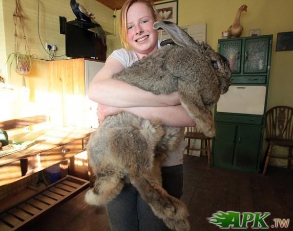 2014金氏世界纪录认定世界上最大的兔子