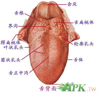 舌头底部结构图