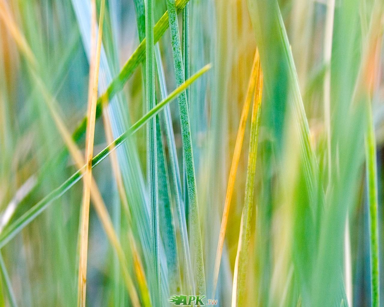 剛開始變黃的草.jpg