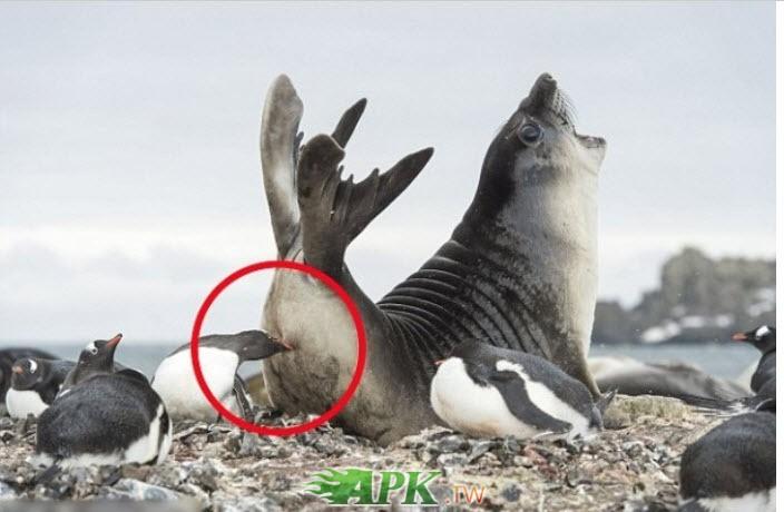 企鵝咬海豹.jpg