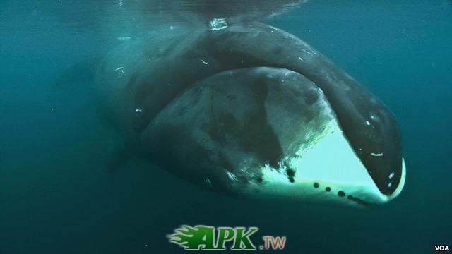 弓頭鯨.jpg