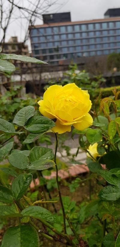 我的黃玫瑰.jpg