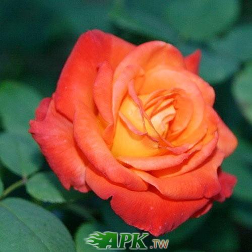 roza-chayno-gibridnaya-frans-libre.jpg