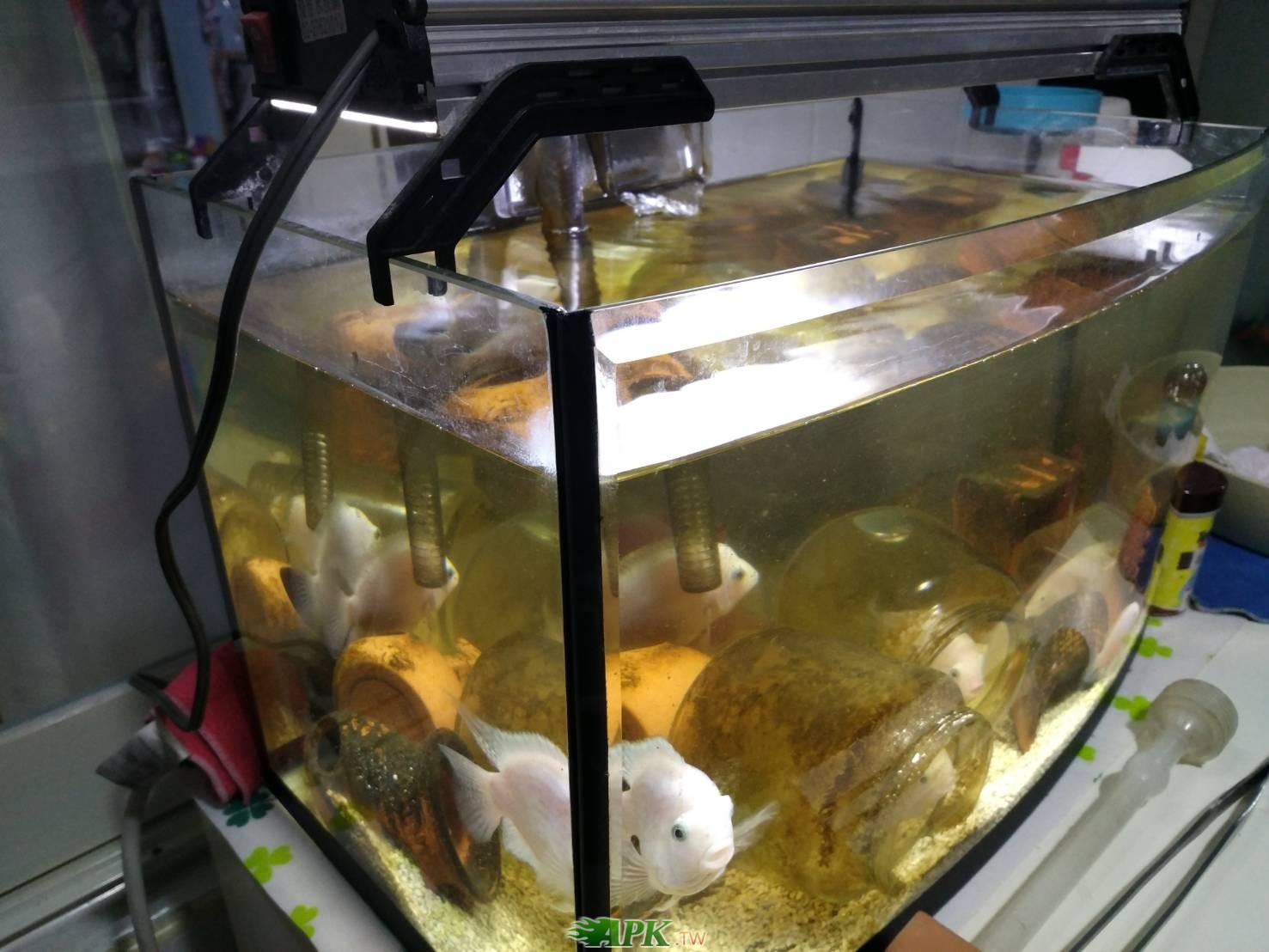魚缸+桃太郎鯛魚數條,期待有緣人接手