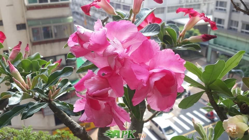 沙漠玫瑰3.jpg