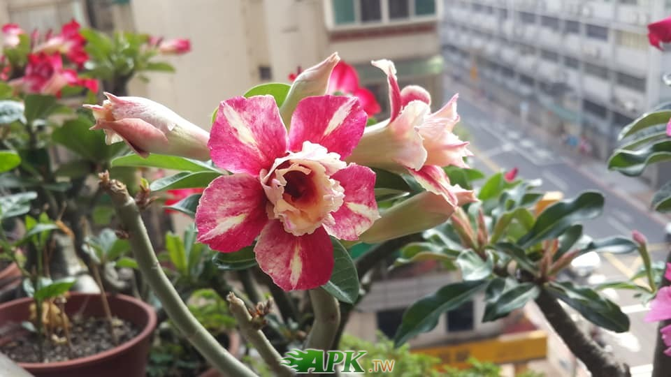 沙漠玫瑰6.jpg