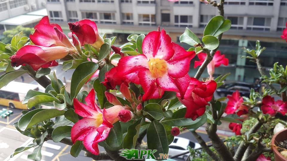 沙漠玫瑰8.jpg