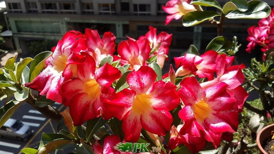 沙漠玫瑰.jpg