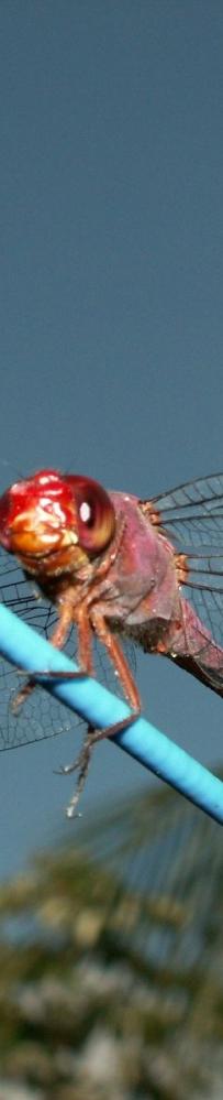 蜻蜓桌布12張