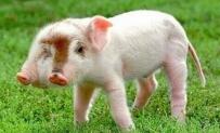 這隻豬~~真是可惜